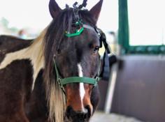 马厩中的马更容易抑郁,新型头戴式设备通过脑电波探索动物的精神世界