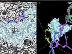 使用AI和TPU,人类首次重建果蝇大脑所有神经元,论文登上《细胞》杂志