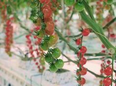 当 AI「炼丹师」遇上荷兰「老农」,究竟谁更会种番茄?